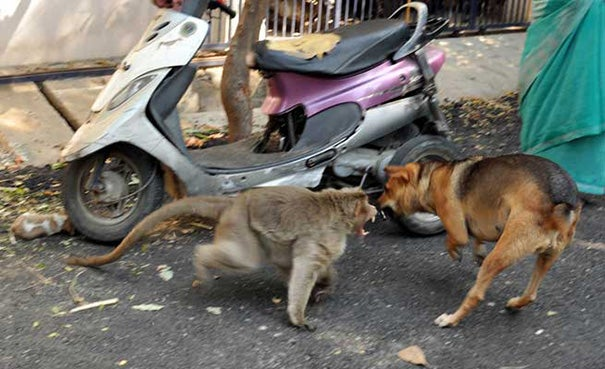 A Monkey Adopts A Puppy, Defends It From Stray Dogs And Acts Like Its Natural Parent - 4