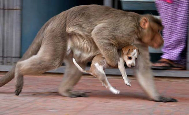 A Monkey Adopts A Puppy, Defends It From Stray Dogs And Acts Like Its Natural Parent - 5