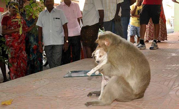 A Monkey Adopts A Puppy, Defends It From Stray Dogs And Acts Like Its Natural Parent - 6
