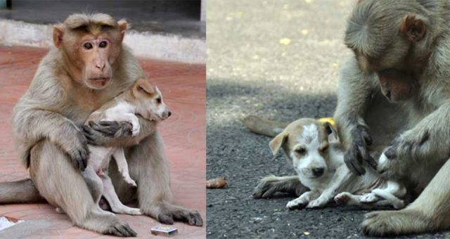 A Monkey Adopts A Puppy, Defends It From Stray Dogs And Acts Like Its Natural Parent