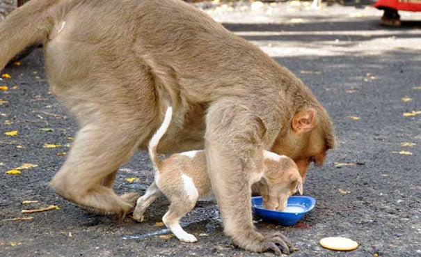 A Monkey Adopts A Puppy, Defends It From Stray Dogs And Acts Like Its Natural Parent - 7