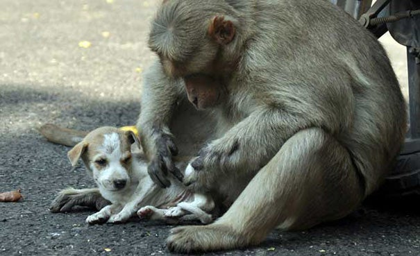 A Monkey Adopts A Puppy, Defends It From Stray Dogs And Acts Like Its Natural Parent - 8