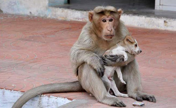 A Monkey Adopts A Puppy, Defends It From Stray Dogs And Acts Like Its Natural Parent - 9
