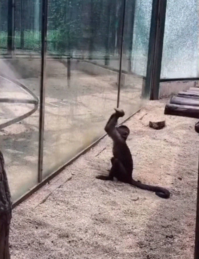 Watch How This Capuchin Monkey Sharpened A Rock And Shattered Its Glass Enclosure At The Zoo - 1