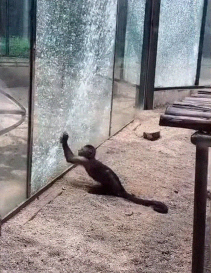 Watch How This Capuchin Monkey Sharpened A Rock And Shattered Its Glass Enclosure At The Zoo - 3