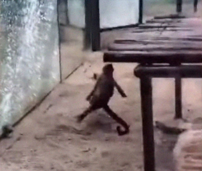 Watch How This Capuchin Monkey Sharpened A Rock And Shattered Its Glass Enclosure At The Zoo - 4