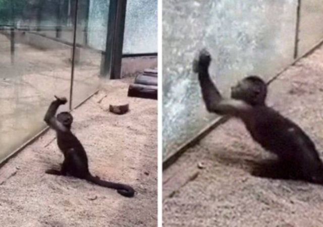 Watch How This Capuchin Monkey Sharpened A Rock And Shattered Its Glass Enclosure At The Zoo