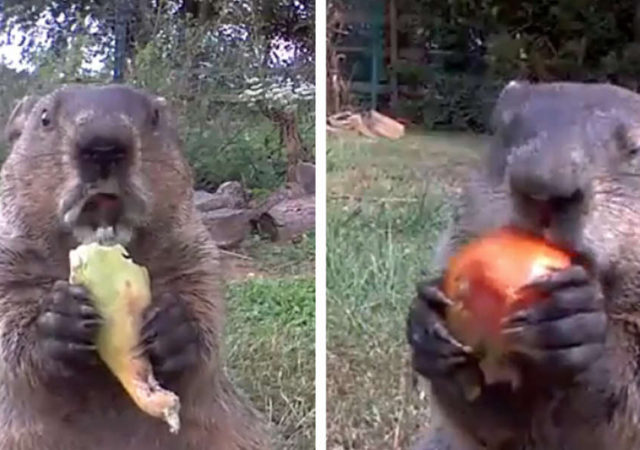 A Gardener Discovers A Cute Groundhog Stealing His Veggies And It's Adorable