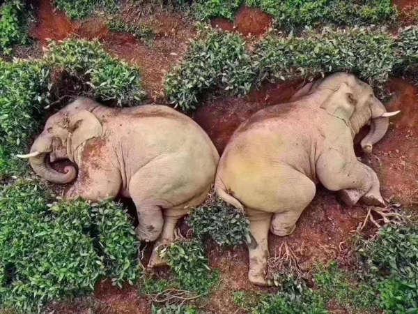 Elephants Wandered Into A Village, Got Drunk On 30kgs Of Corn Wine 1