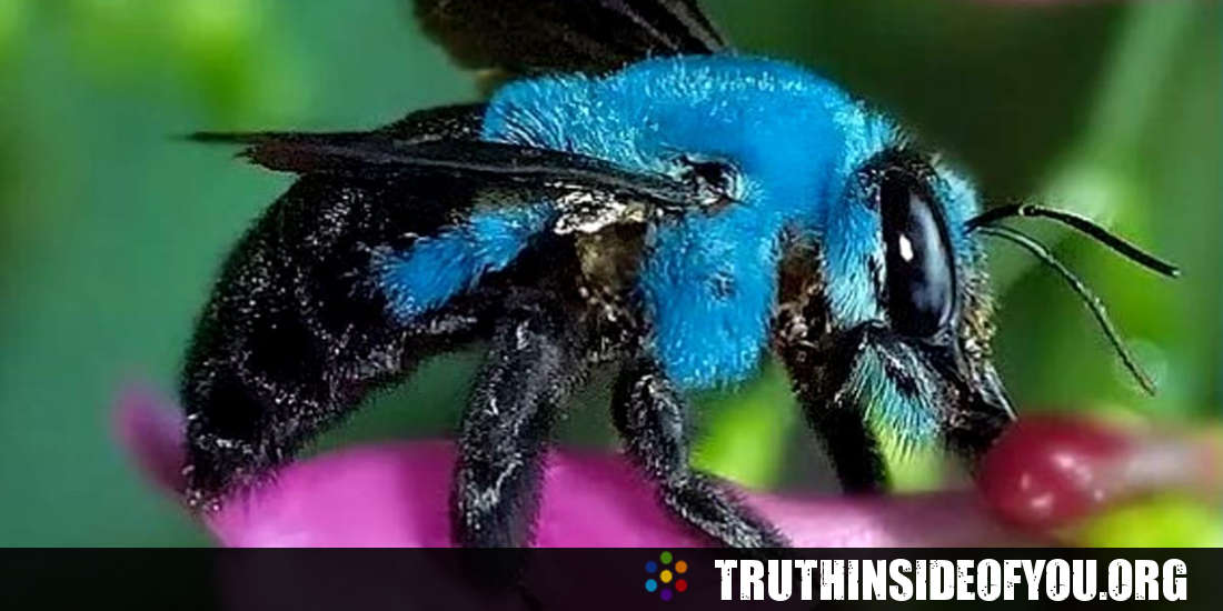Blue Bee, One of Florida's Long Lost Bees, Has Been Rediscovered